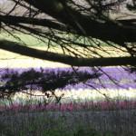 floraison des champs de jacinthes
