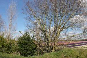 floraison des champs de jacinthes à Plomeur dans le Finistère dans * MENU MENUS plomeur-29-03-2013-20-300x200